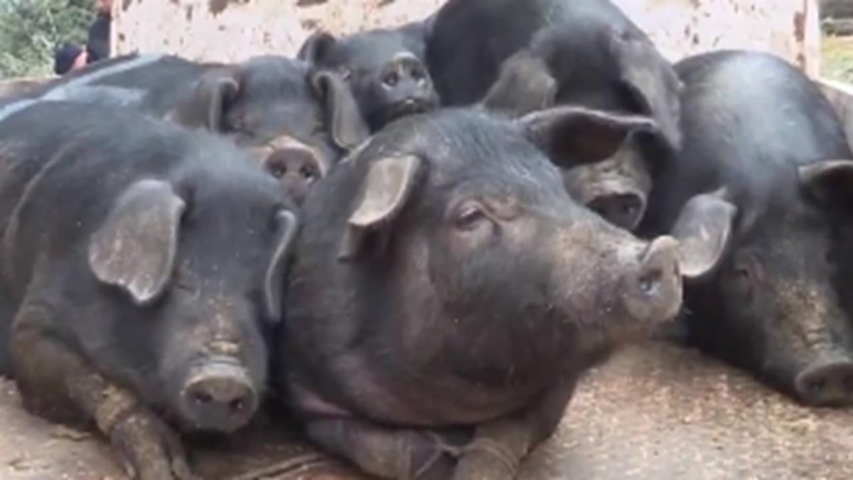 年終一人一頭黑豬!陸農場員工嗨翻:明年還要