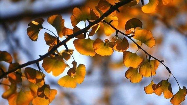 美國科學家破解中國銀杏樹長壽的秘密