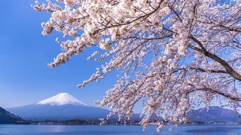2020日本富士山櫻花季 櫻花、河口湖懶人包