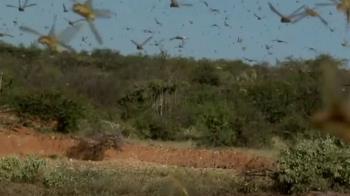 東非25年來最嚴重的沙漠蝗蟲危機 恐暴增500倍
