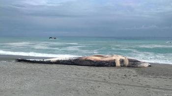 台灣首見藍鯨陳屍長濱海岸  漁具纏身遭餓死