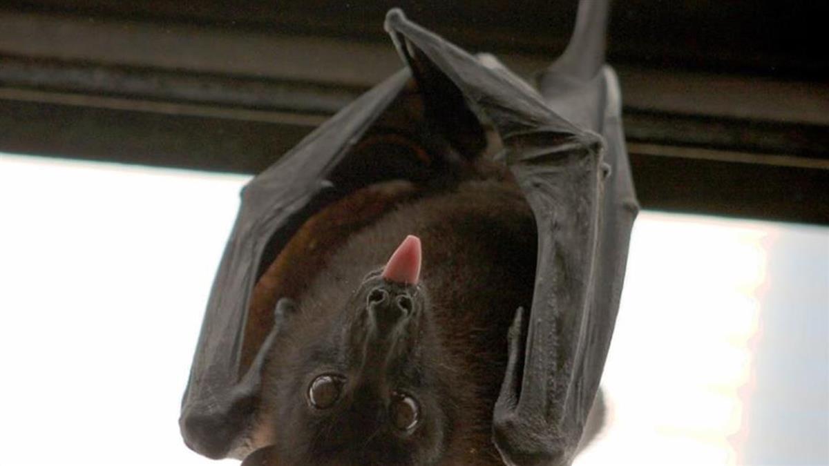 武漢肺炎破千死!蝙蝠餐還在大賣 專家抖愛吃原因