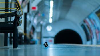 野生動物攝影大賽:地鐵老鼠為食而戰 斬獲人氣大獎