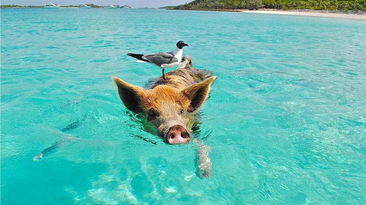 野豬從海裡衝出!釣魚男驚恐反擊 超狂結局曝