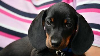全球首例寵物患武肺!港女富豪愛犬證實低程度感染