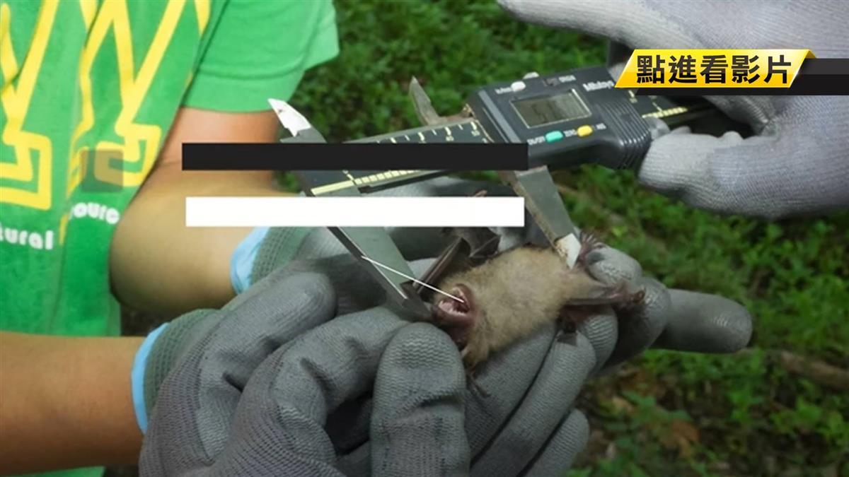 台灣蝙蝠有冠狀病毒?桃園神秘實驗室曝光