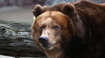 提前結束冬眠:人熊為何兩擔心