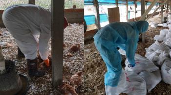 不只武肺!彰化雞染禽流感撲殺2萬隻 防疫所長警告了
