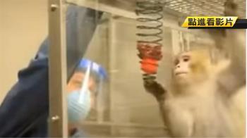 為何挑恆河猴當人類替身 專家給答案
