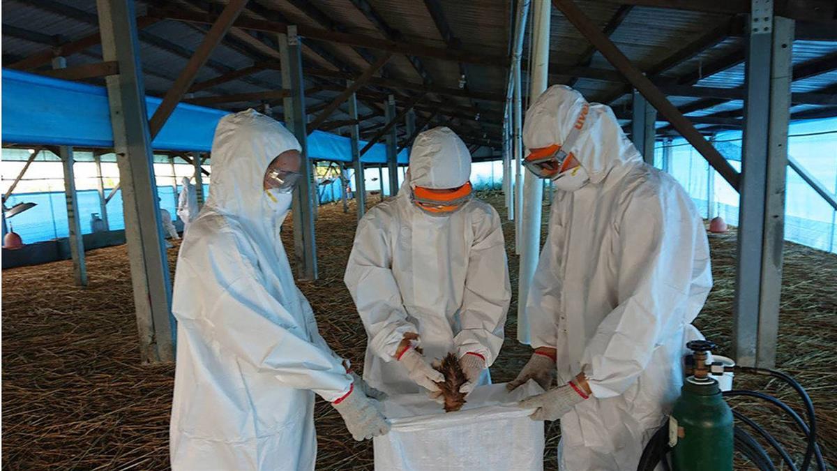 別只關注武肺!台南養鵝場爆禽流感 撲殺逾3千隻