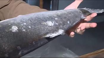 航班大砍!冷藏鮭魚進口降八成 每公斤暴漲80元