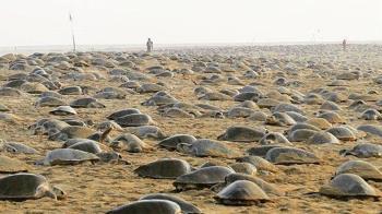 等了7年!海灘終於沒人了 32萬海龜上岸產卵