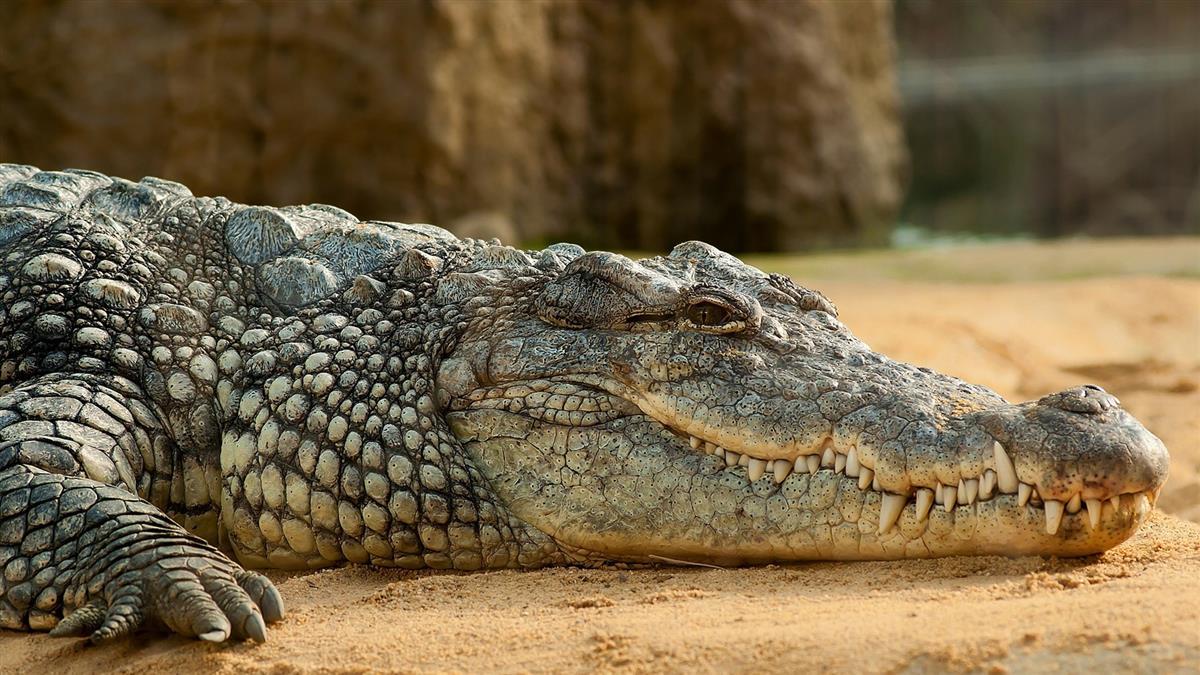 3歲兒遭鱷魚咬走!勇母跳牠身插鼻孔驚險救回