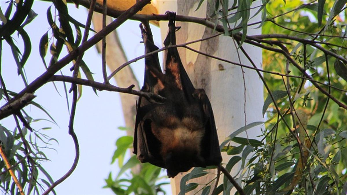就這隻?雲南蝙蝠病毒基因 與武肺相似度達96.2
