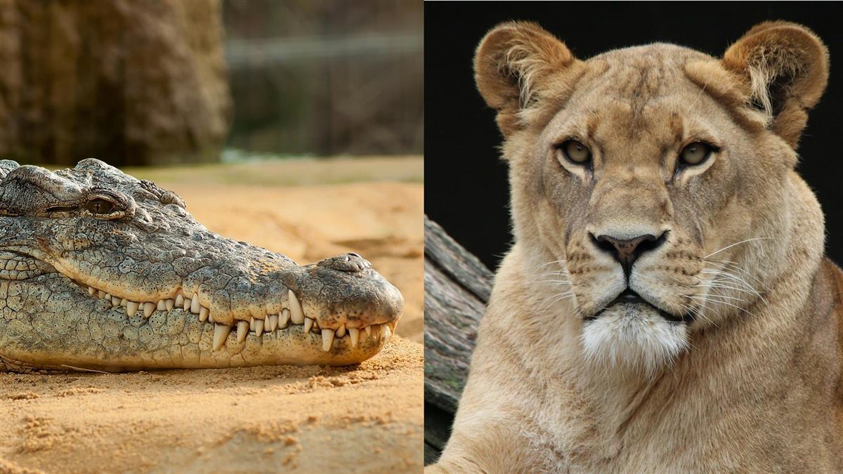 巨鱷遭5頭母獅圍攻! 勇猛出擊看傻母獅