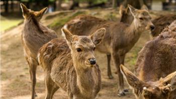 日本奈良鹿趴趴走 保育團體:應跟鹿餅無關