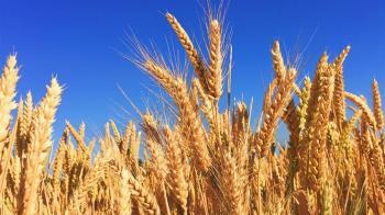 中國大陸出手 課徵澳洲大麥80.5%反傾銷補貼稅