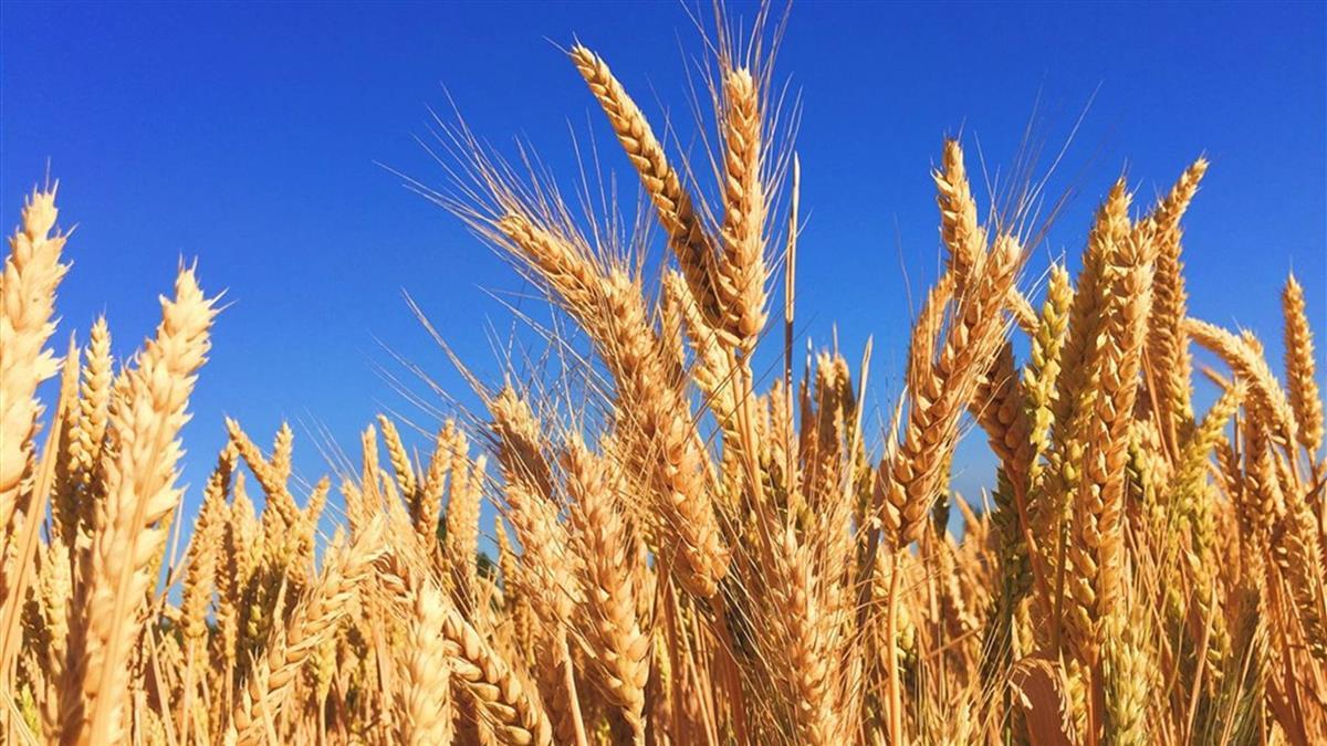 中國大陸對澳洲大麥課徵關稅 坎培拉:深感失望