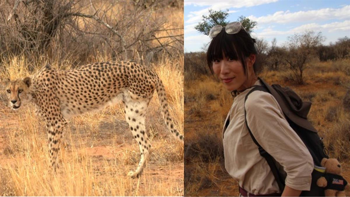 目睹暴瘦獵豹只剩三條腿 女主播採訪遇大象發狂拔樹