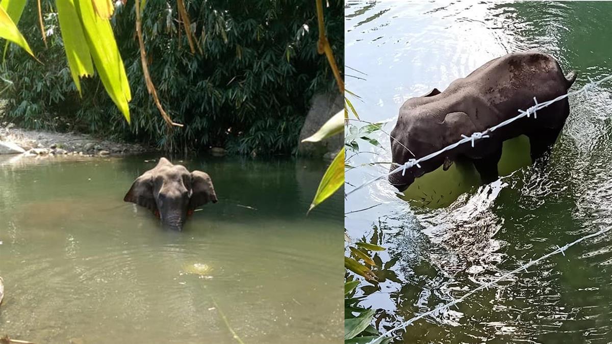 姐姐對不起!懷孕母象遭餵炸彈 絕望躲河中被炸爛