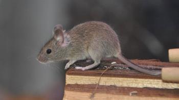 營養午餐有死老鼠!140多人食用 3國中生腹瀉、嘔吐