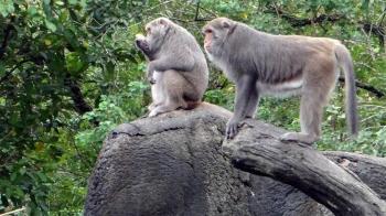 趕獼猴救農作物 台東徵鞭炮手月薪23.8K