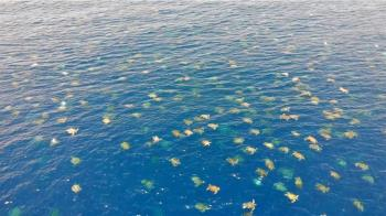 6萬隻海龜同時悠游大堡礁 無人機捕捉44秒震撼畫面
