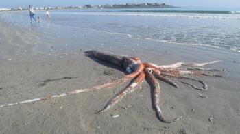 巨型大王烏賊躺南非海灘!罕見完整屍體超驚人