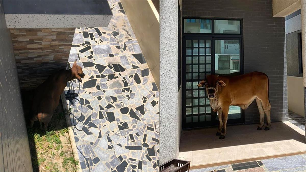 熱爆!2黃牛佔領家門口乘涼 澎湖正妹回家傻了