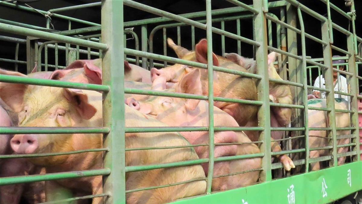 等了24年!台灣正式從口蹄疫區除名 我豬肉將可外銷