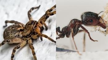 蜘蛛為何不吃螞蟻?他崩潰發問 釣出「蟻王」神解