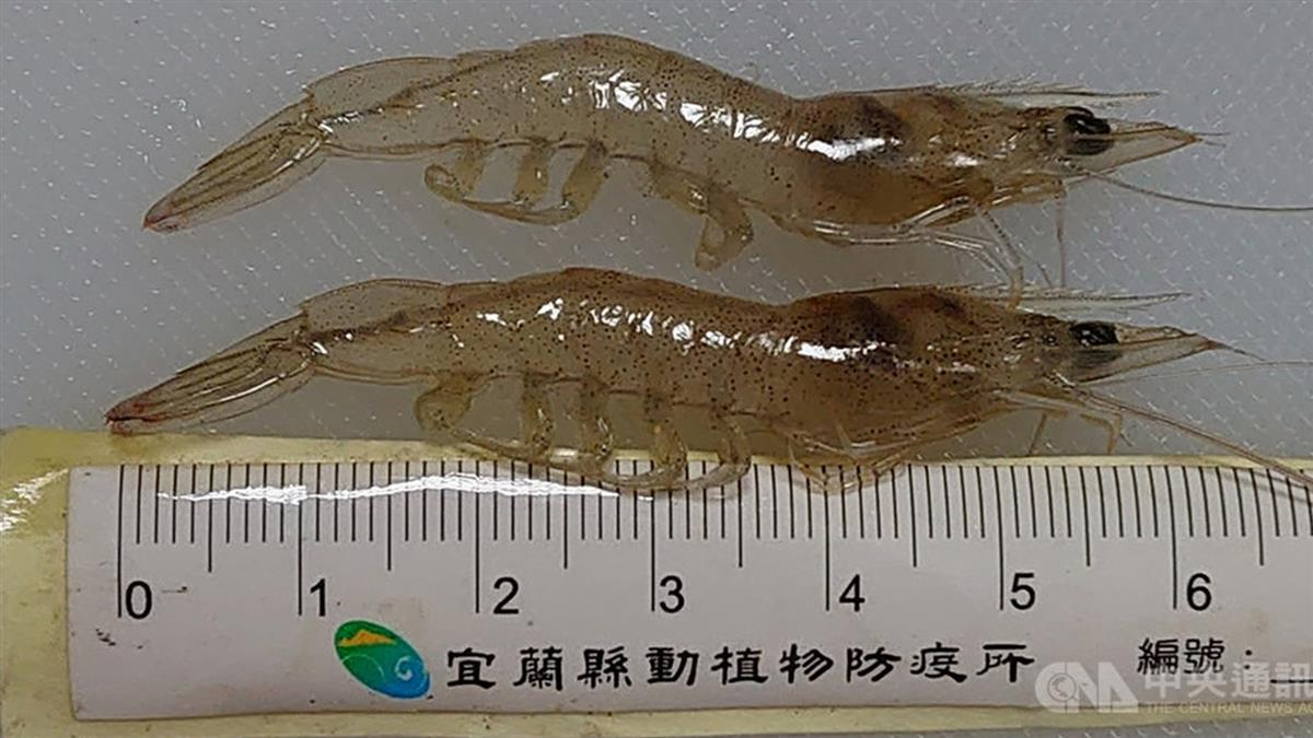 陸十足目虹彩病毒入侵台灣 4縣市近10螯蝦場遭殃