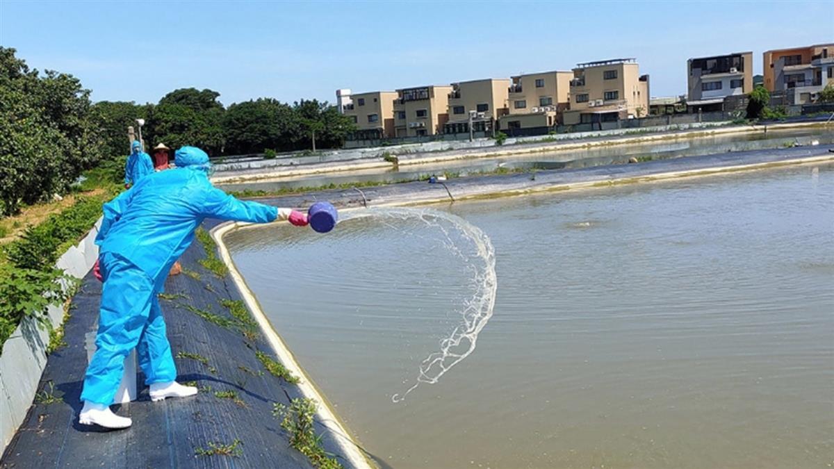 「十足目虹彩病毒」驚現竹北!1200多斤澳洲螯蝦全銷毀