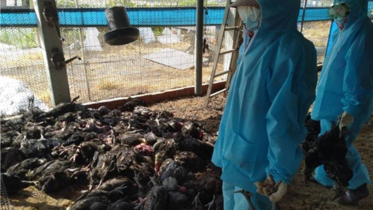 高溫炎熱!彰化養雞場染禽流感 9556隻雞遭撲殺