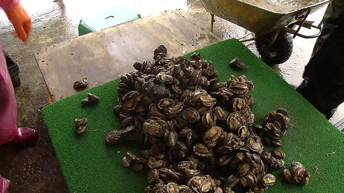 獨/台最大鮑魚場遭洗劫!200斤頂級海鮮全被挖走