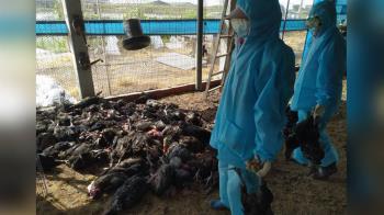 彰化土雞場爆發禽流感 撲殺9556隻