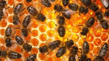 蜜蜂王國解密:以為是蜂王閨密私語 真相很殘酷