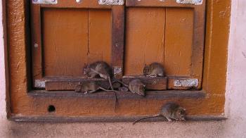 創20年新高!漢他病毒第7例 住家、工廠抓11隻老鼠