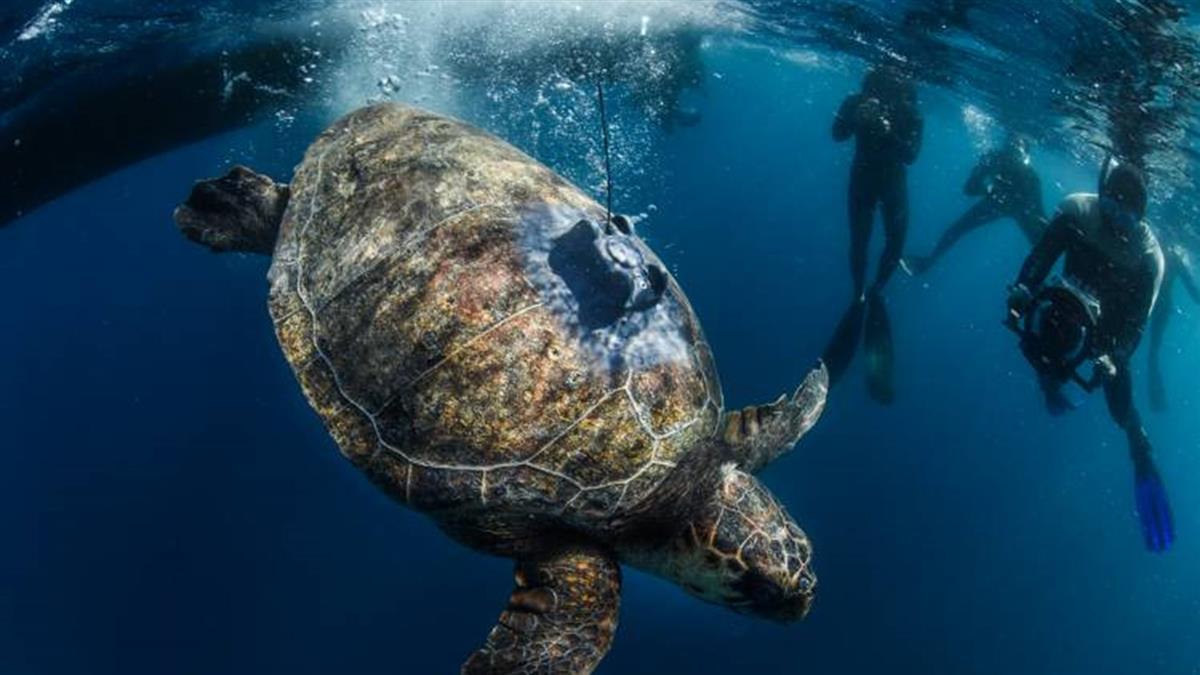 殼破洞被收養!赤蠵龜花2年游3.7萬公里 直奔家鄉