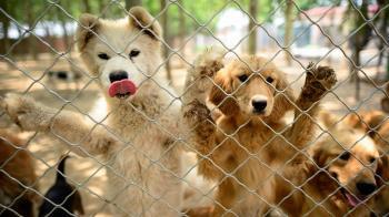 新冠疫情下玉林狗肉節如期舉辦,中國打擊「吃野味」承諾受關注
