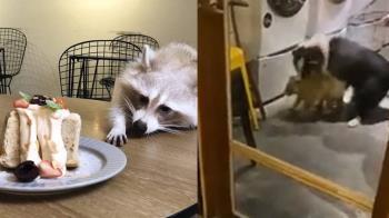放狗咬浣熊 37秒殘忍片曝!知名咖啡廳粉專急關