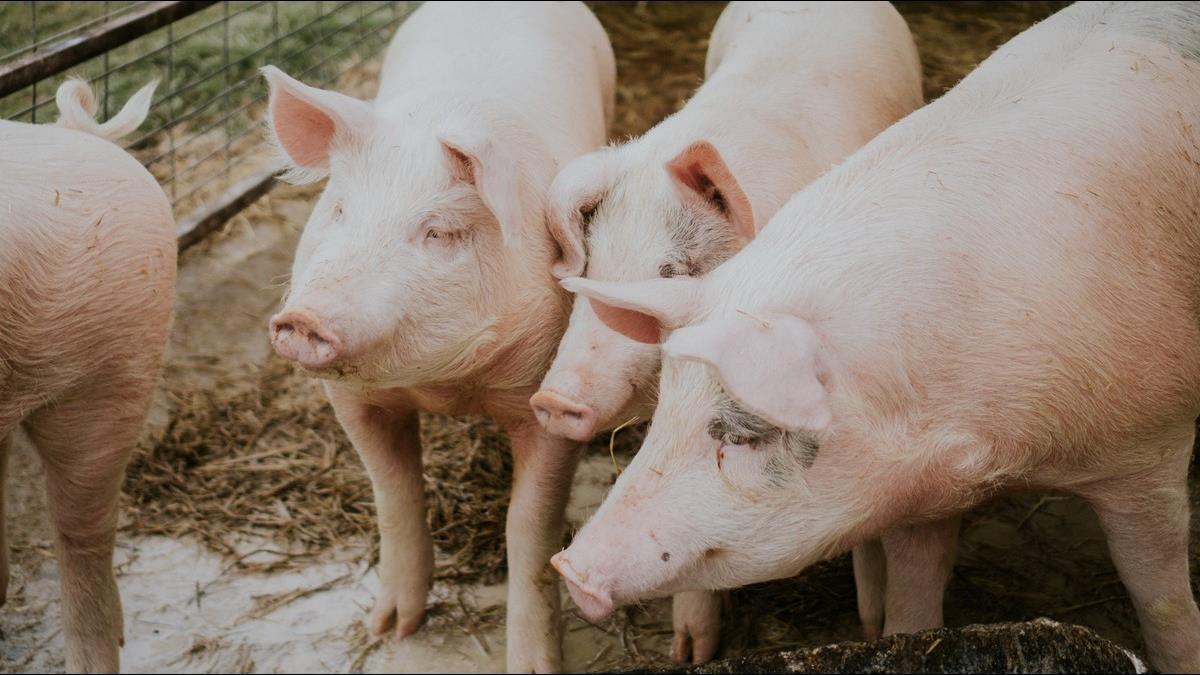 大陸再傳「新豬流感」官方網站「靜悄悄」完全無資料