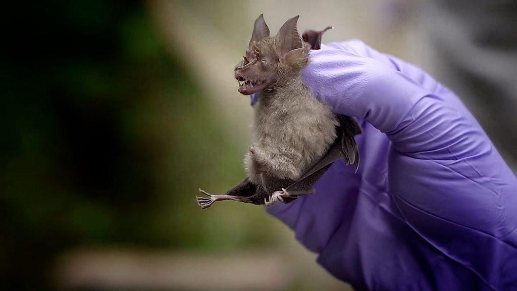 肺炎疫情:泰國科學家嘗試從蝙蝠身上尋找答案