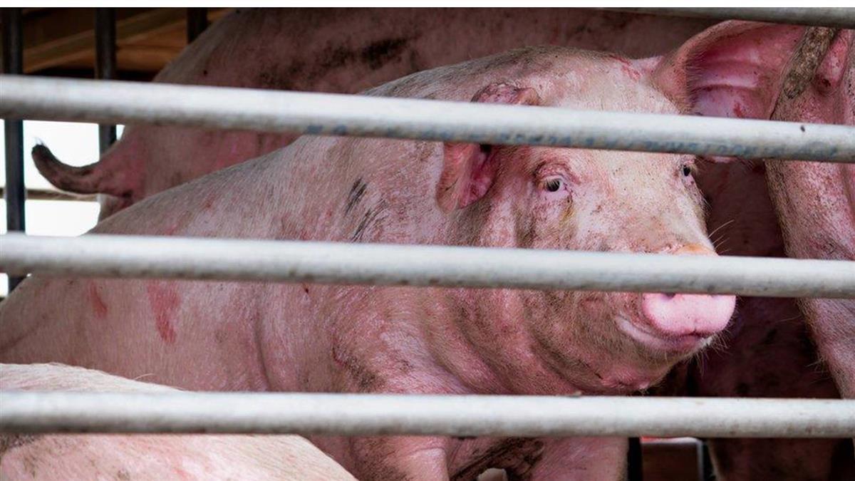 科學家稱在中國發現可傳人的豬流感病毒 台灣高度關注