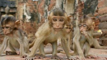 疫情期間沒有遊客餵食的泰國猴子出現能量過剩