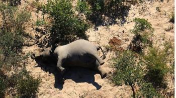 死前如喪屍!非洲數百隻大象離奇慘死 專家警告公衛危機