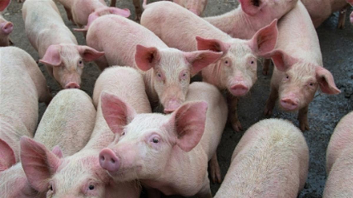 新型豬流感病毒檢驗出爐 農委會:台灣已排除