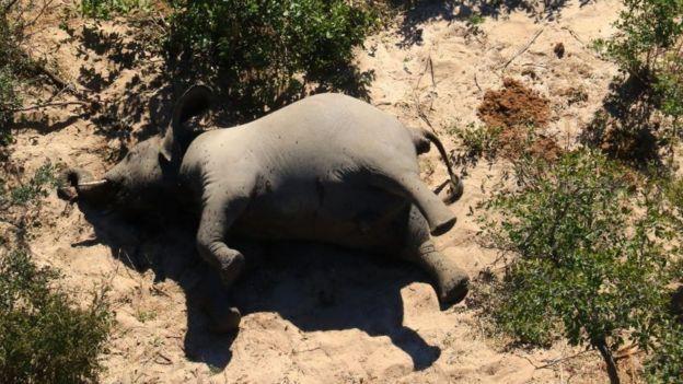動物世界:非洲大象成群神秘死亡之謎