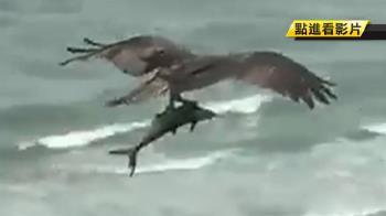 巨鳥夾鯊魚天上飛?專家揭真面目