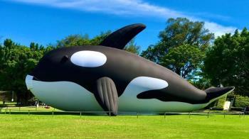 20公尺呆萌虎鯨游進安平港 這個夏天衝台南玩一波